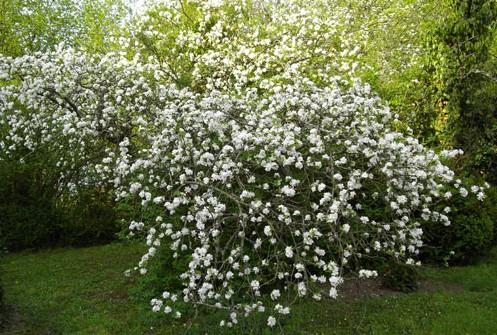 Pommier en fleur dans le jardin de Tattwa Bodha